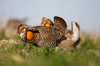 Greater Prairie Chickens, Washington Co, KS