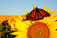 Sunflower w/monarch, Brown Co, KS