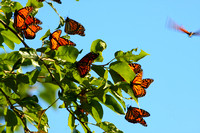 Monarch Butterfly Migration, Brown Co, KS